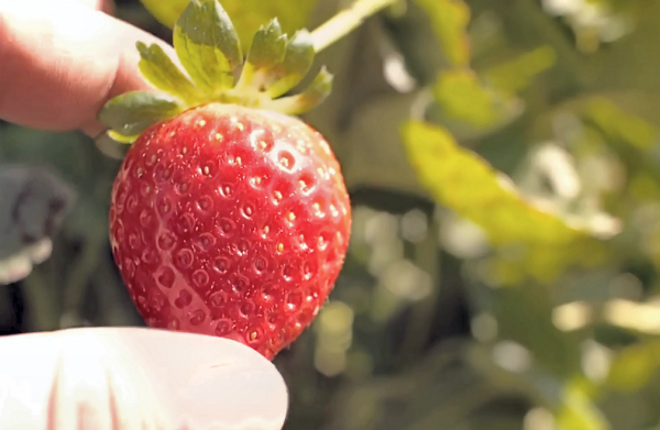 The Extraordinary Life and Times of a Strawberry