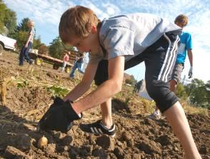 HGleaning Potatoes