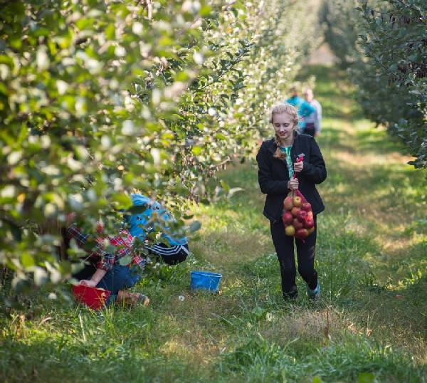 Gleaning apples in Winchester, Virginia.