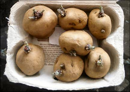 Seed Potatoes, ready to cut and plant