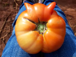 Tomato with Ears