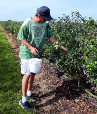 FL - 8 - Blueberry Gleaning