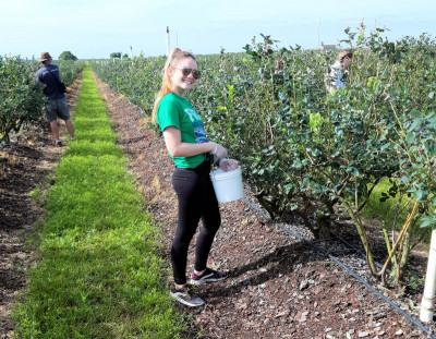 Gleaning Blueberries in Florida - 2