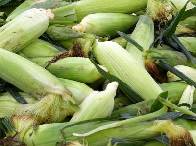 Gleaned Corn