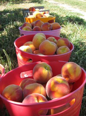 Peaches, Winchester VA